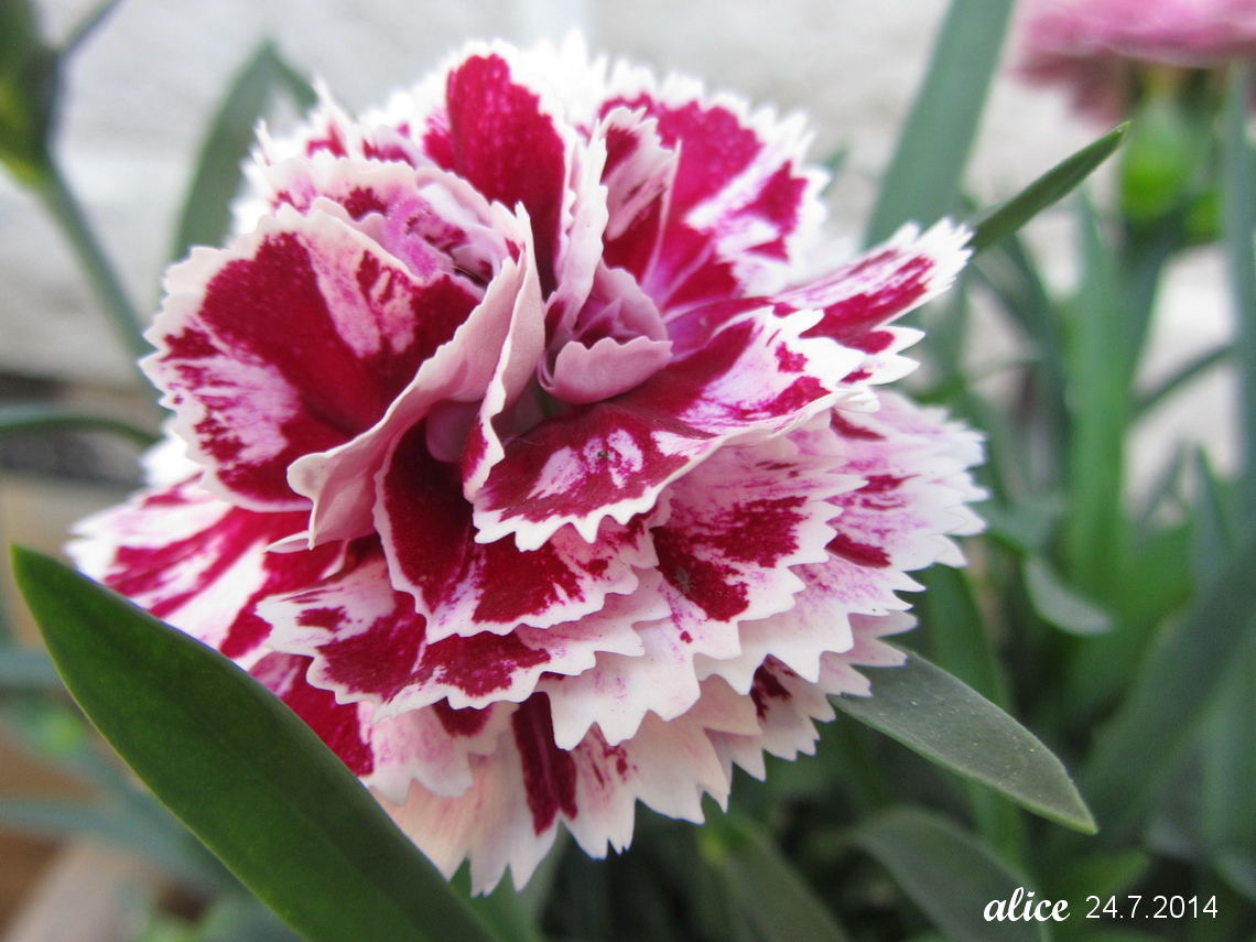 carnation with the scent of clove dianthus caryophyllus my little place in the universe of. Black Bedroom Furniture Sets. Home Design Ideas