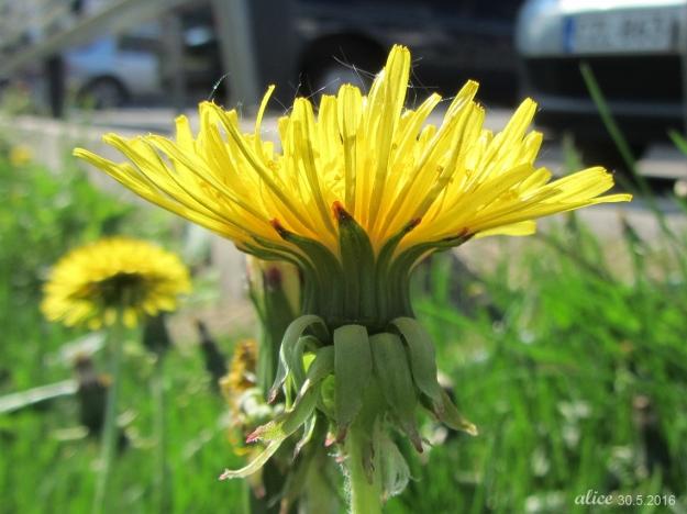 Dandelion IMG_1072C