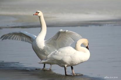 Swans IMG_6355CC
