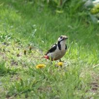 Great woodpecker, käpytikka, större hackspett IMG_7552C