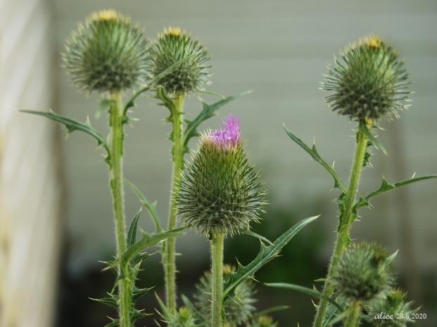 Spear thistle, vägtistel, piikkiohdake, Cirsium vulgare